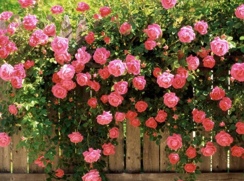 Уход за розами в вашем цветущем саде