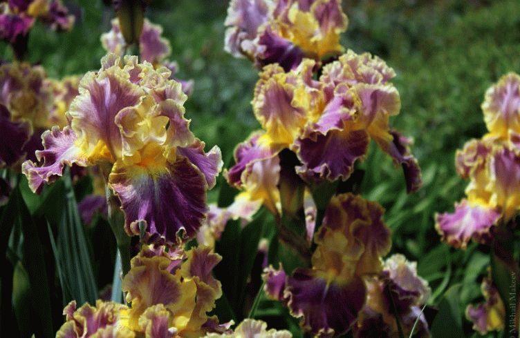 Чем подкармливать ирисы весной и после цветения?