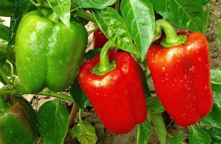 Чем подкармливать перец во время цветения и плодоношения