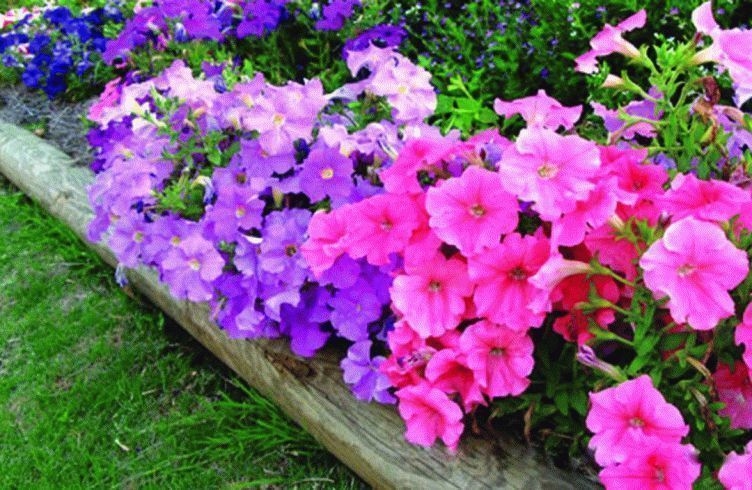 Чем подкармливать петунии для обильного цветения