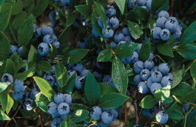 Чем подкармливать садовую голубику для хорошего урожая