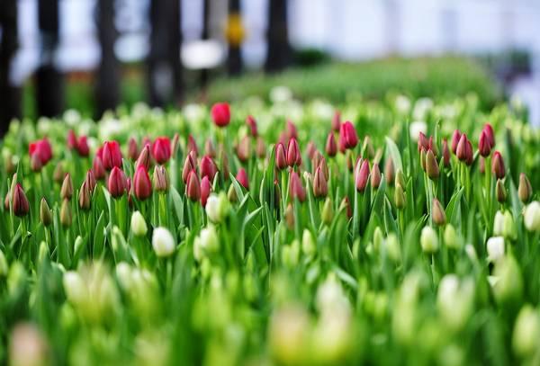 Грунт и теплица: как выращивать тюльпаны правильно?