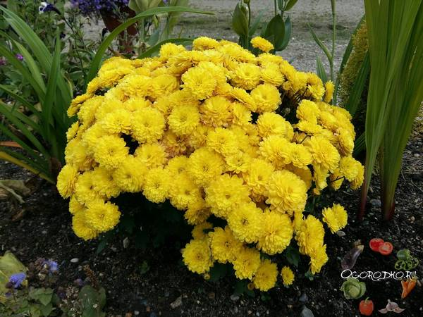 Хризантемы  посадка и уход в открытом грунте, размножение, обрезка на зиму, шаровидная