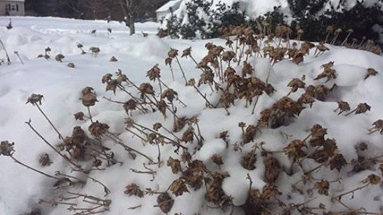Хризантемы: уход и выращивание в домашних условиях
