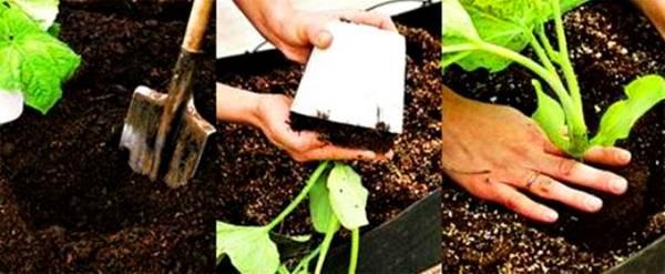 Как и когда сажать огурцы на рассаду: технология
