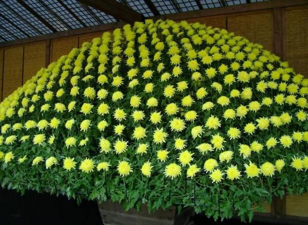 Как осуществляется выращивание хризантем в теплице?