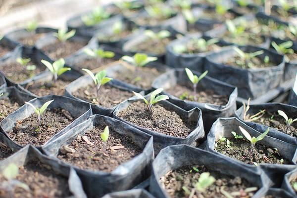 Как правильно сажать баклажаны в открытый грунт рассадой?