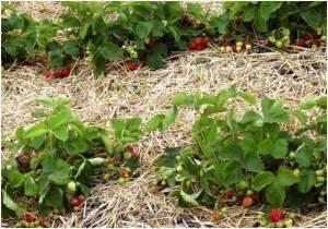 Как размножается клубника на дачном участке