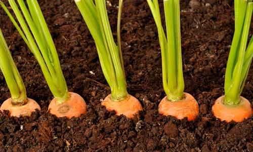 Как садить морковь весной?