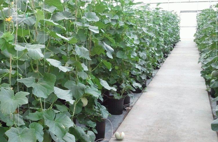Как вырастить арбузы в Сибири в теплице – лучшие новые сорта арбузов