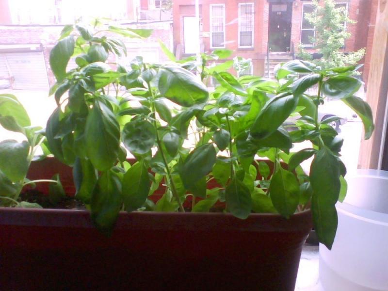 Как вырастить базилик на подоконнике из семян в квартире