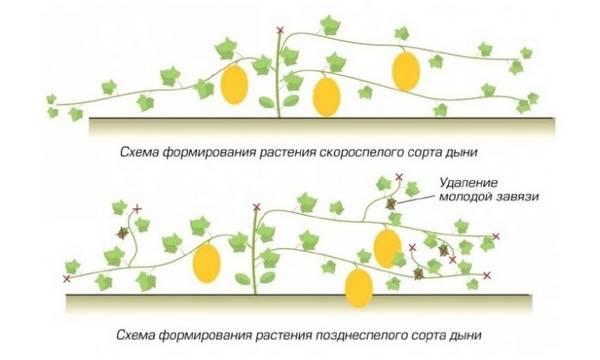 Как вырастить богатый урожай дынь в теплице?