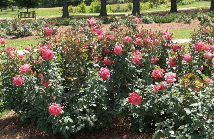 Как вырастить чайно-гибридную розу из черенка — посадка и уход