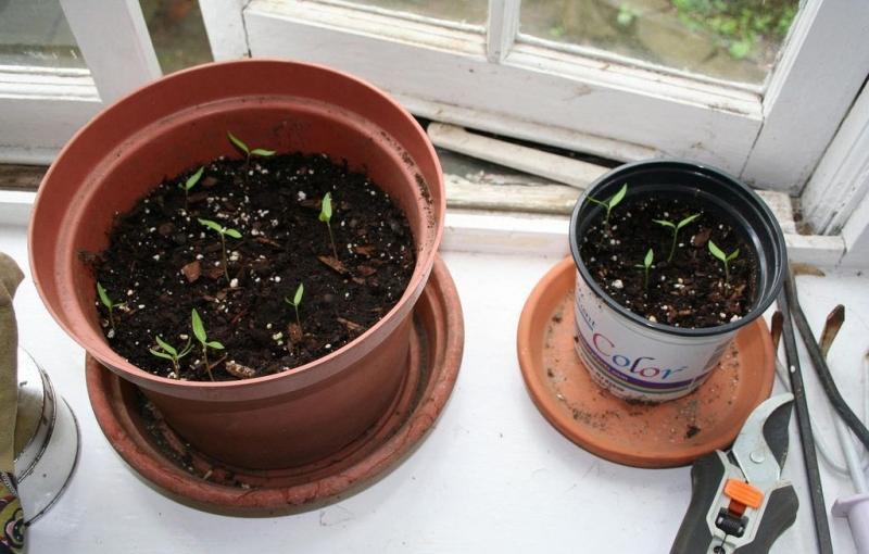 Как вырастить рассаду перца в домашних условиях без пикировки
