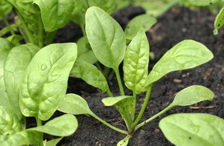 Как вырастить шпинат в огороде и на балконе — посадка и уход