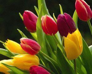 Как вырастит тюльпаны из семян в домашних условиях – посадка и уход?
