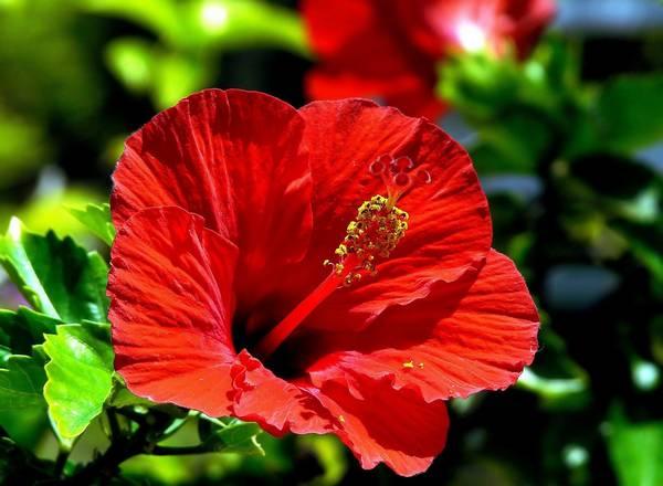 Китайская роза, или «гибискус» - цветок смерти?
