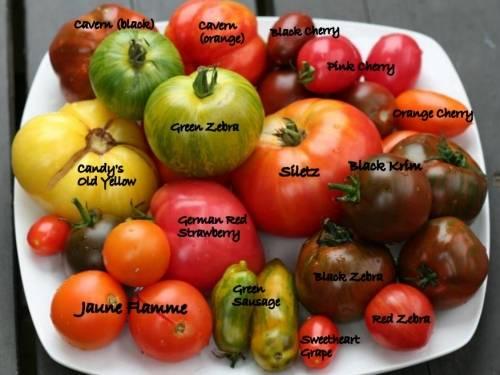 Лучшие сорта тепличных и грунтовых томатов для Сибири