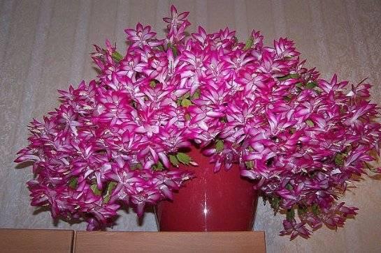 Охота за цветами: как ухаживать за декабристом, чтобы он цвел?