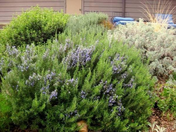 Особенности выращивания розмарина из семян в домашних условиях