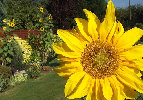 Подсолнечник в саду: красиво, практично и полезно
