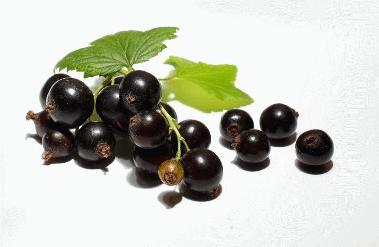Посадка черной смородины весной саженцами – болезни и их лечение