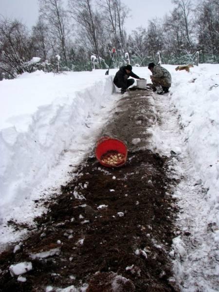 Посадка луковиц тюльпанов под зиму - как и когда это сделать правильно?