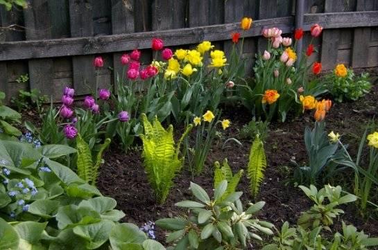 Посадка тюльпанов весной в грунт - как посадить цветы, чтобы они цвели?