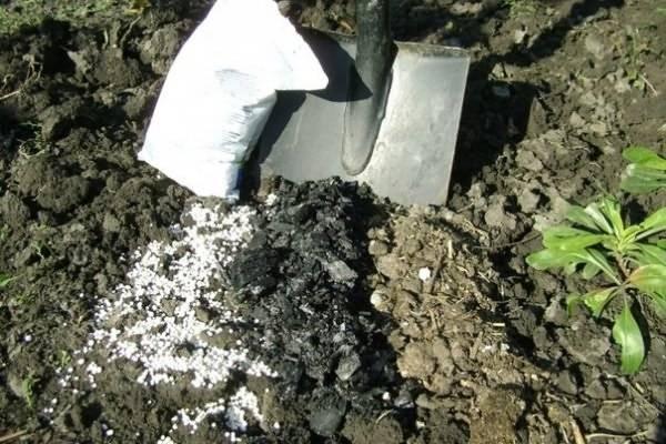 Правила выращивания овоща редиса в открытом грунте