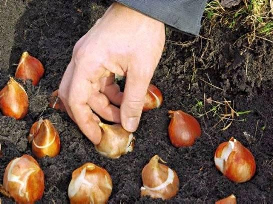 Правильная посадка тюльпанов: когда и как?