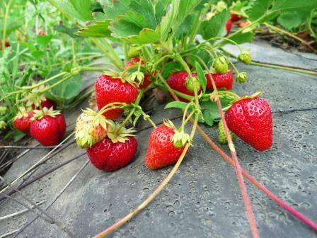 Размножение в саду клубники: основные способы и нюансы