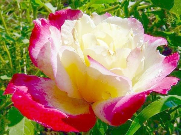 Роза чайная  ароматная красавица в саду и в доме