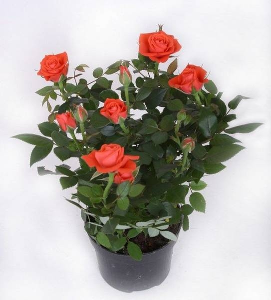 Роза Кордана - секреты правильного ухода