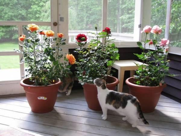 Розы в горшках: уход в домашних условиях
