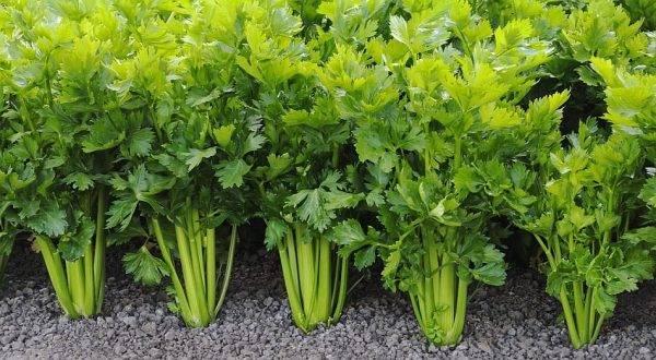 Сельдерей: выращивание и описание сортов
