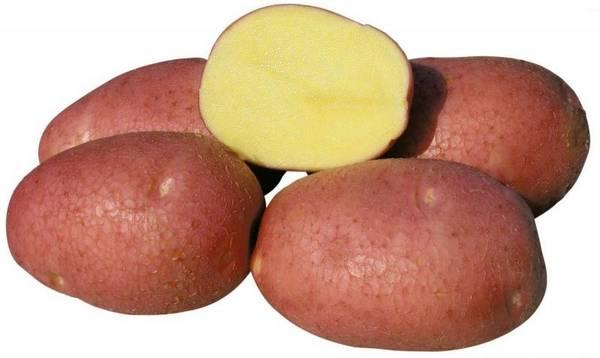 Сорт картофеля Роко — неизменный фаворит овощеводов