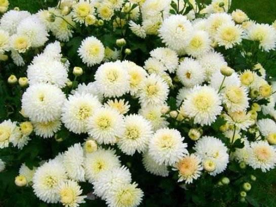 Сорта корейских хризантем с фото и описанием