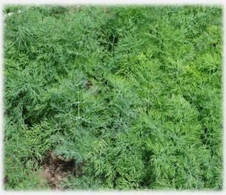 Технология выращивания укропа в открытом грунте и теплице
