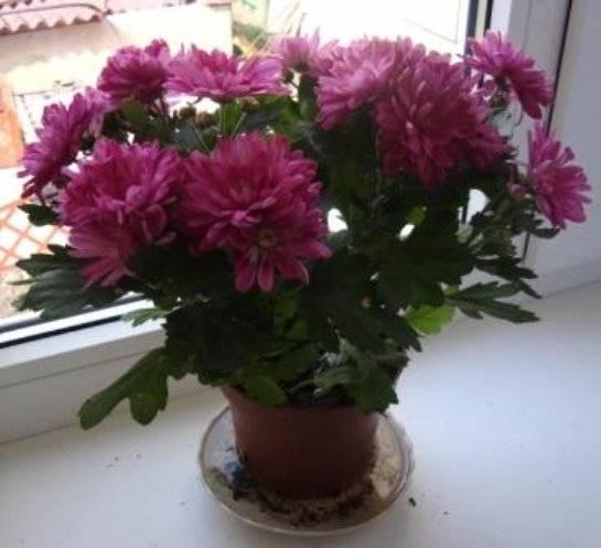Учимся ухаживать за хризантемой домашней