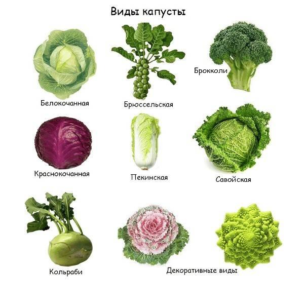 Виды капусты и особенности их выращивания