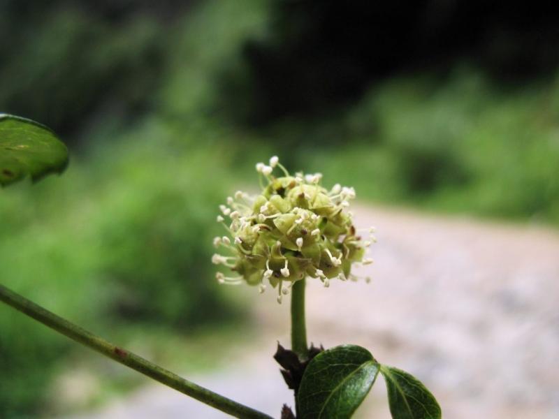 Выращивание элеутерококка посредством семян