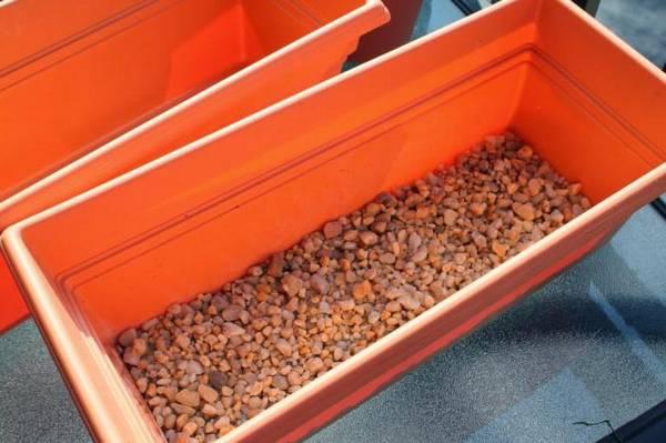 Выращивание розмарина в квартире и уход