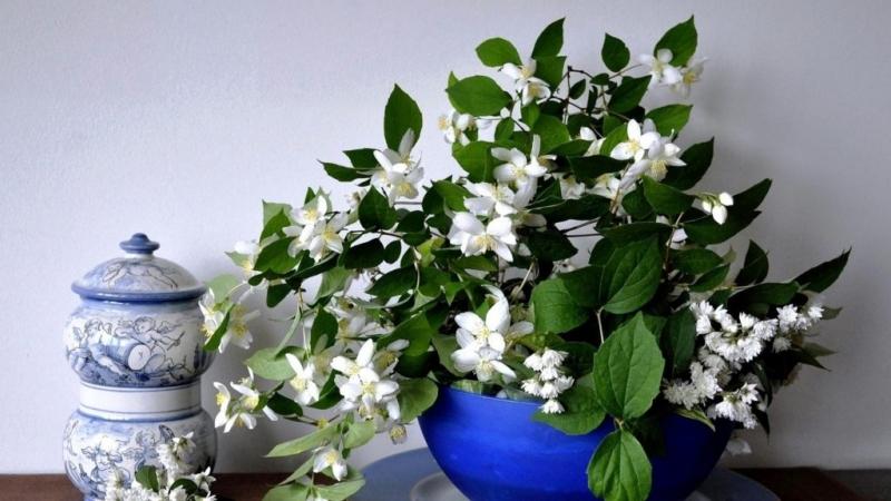 Выращивание жасмина посредством метода черенковая или семенного