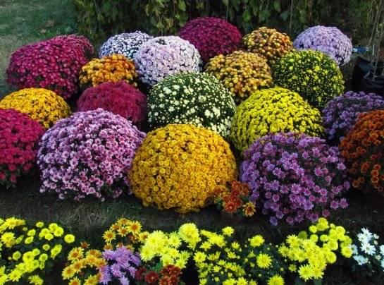 Зимовка хризантемы Мультифлора: советы и рекомендации