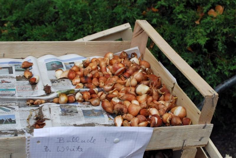 Агротехнические секреты осенней посадки тюльпанов