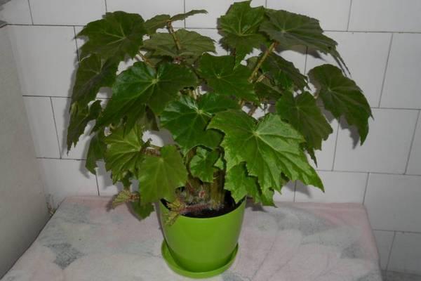 Бегония воротничковая  размножение, выращивания и ухода