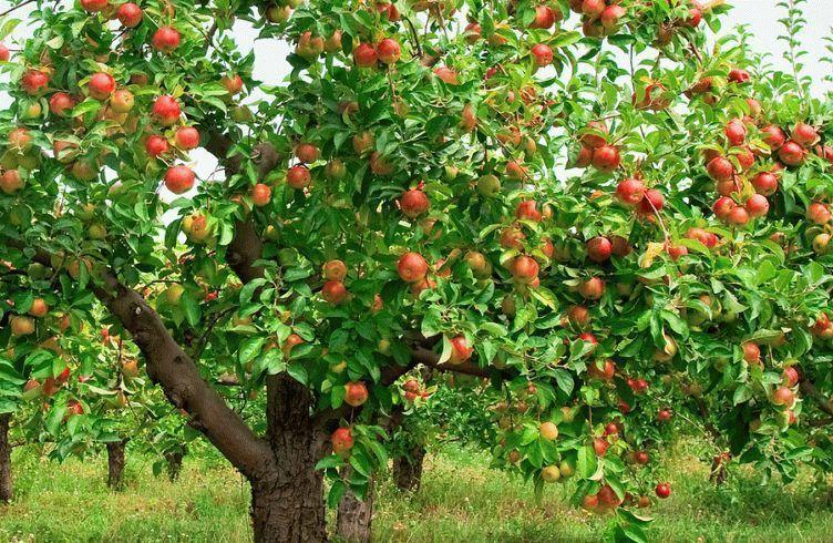 Что можно посадить рядом с яблонями?