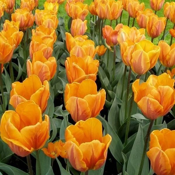 Чудесные тюльпаны в вашем саду  технология выращивания тюльпанов в открытом грунте