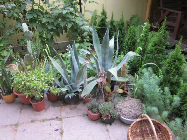 Цветение кактусов в домашних условиях: как заставить его цвести?