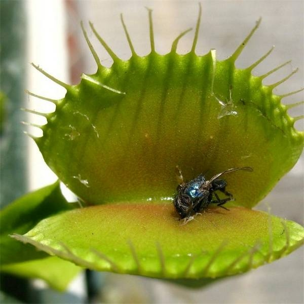Дионея, или Венерина мухоловка: посадка и уход в домашних условиях